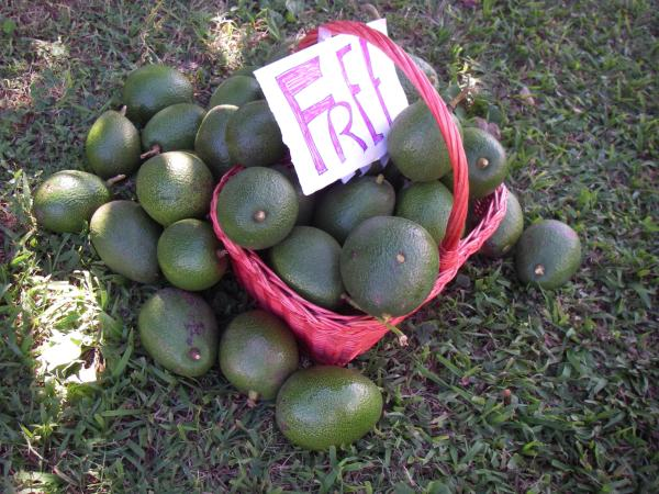 A basket overflowing with big avocados, free for the taking on the side of the road