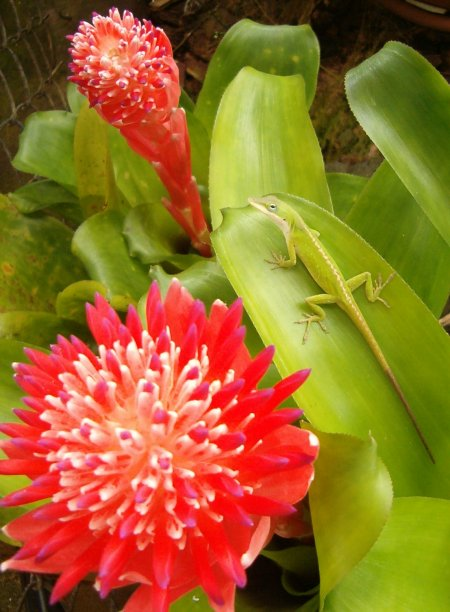 A water storing bromeliad with a bright pink head of flowers and a green chameleon lizard