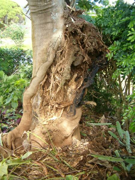 Gaping wound 2 feet wide and 3 feet high where the trunk should be.