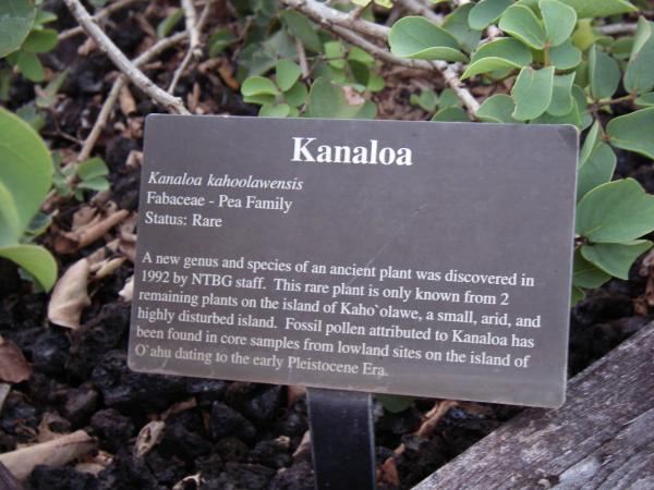 Sometimes a picture is only worth 71 words: Kanaloa.  Kanaloa Kahoolawensis. Fabaceae - Pea Family. Status: Rare. A new genus and species of an ancient plant was discovered  in 1992 by NTBG staff. This rare plant is only known from 2 remaining plants on the island of Kahoolawe, a small, arid, and highly disturbed island. Fossil pollen attributed to Kanaloa has been found in core samples from lowland sites on the island of Oahu dating to the early Peistocene Era. --maybe I can do better: its a small shrub with stick branches and roundish pale green leaves