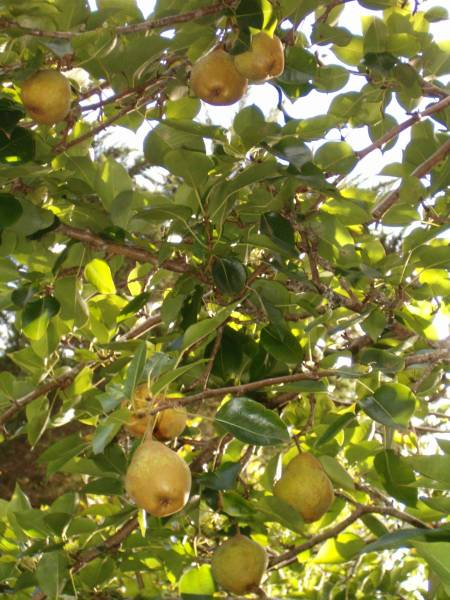 Pears growing in the tropics