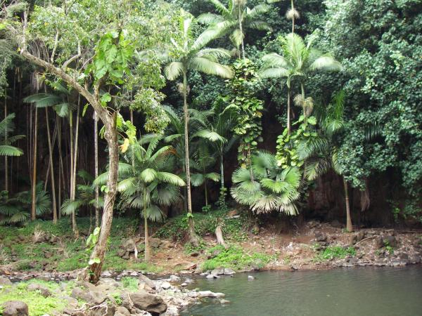 A variety of palm whose name I did not catch has spread naturally around the pool at the base of the falls