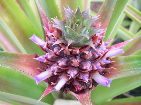 Closeup of a young pineapple about 2 inches (5cm) across, with little purple tube flowers (.4 inches, 1 cm long) budding from each nodule
