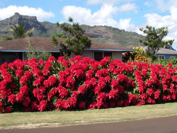 PoinsettaHedge