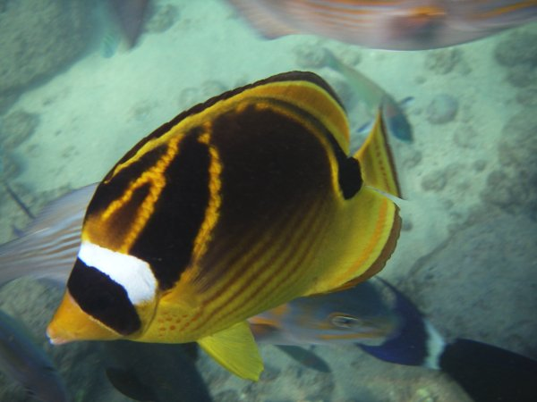 A mostly yellow and black oval fish, about 4 inches long, with a white and black mask over the eyes like a racoon