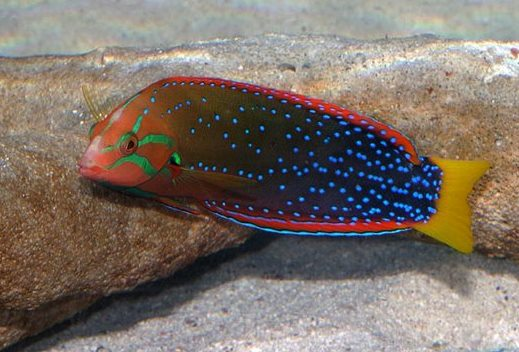 Very colorful fish, about 8 inches (20 cm) long, with an orange and green head, a darker body with neon blue dots, a bright yellow tail and hot pink dorsal and ventral fins the length of  its entire body