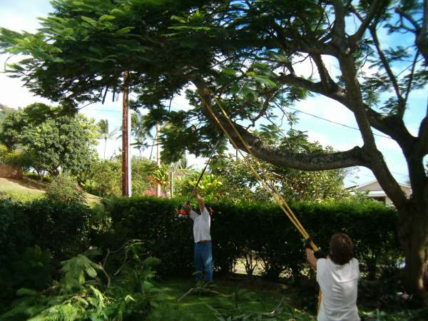 Beginning to cut down the outer branches.