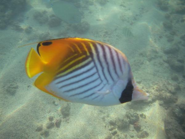 Yellow, white and black oval fish, about 4 inches long, with an elegant criss-cross pattern
