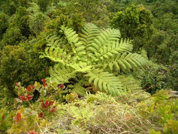 Large green tree fern canopy seen from above