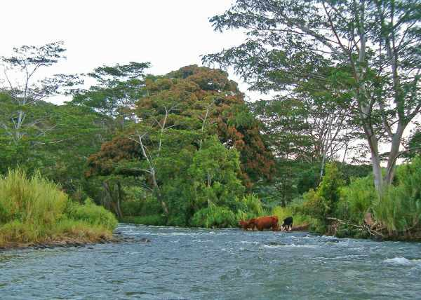 Three cows drinking in the river near their pastures