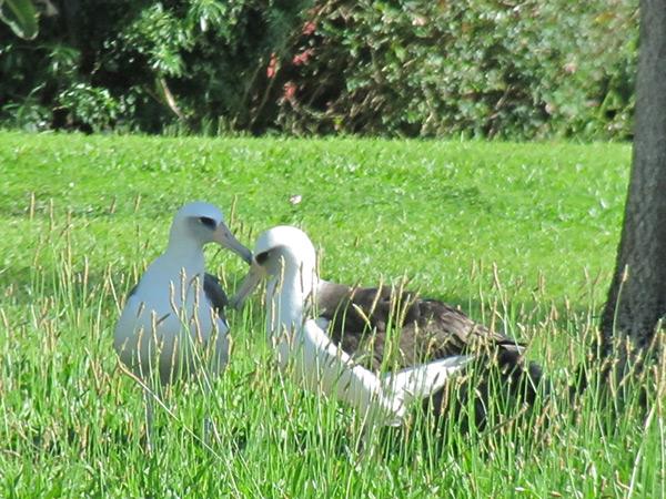AlbatrossParents